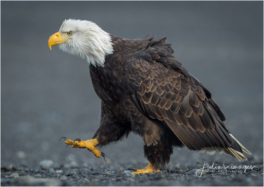 Strutting Bald Eagle