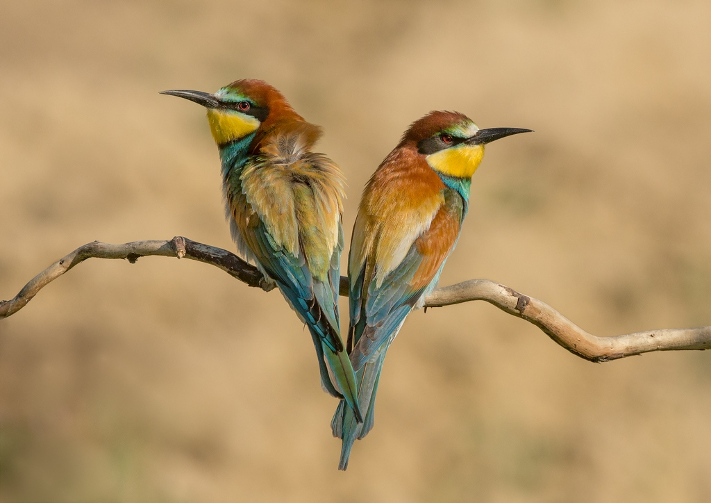 Opposing European Bee Eaters