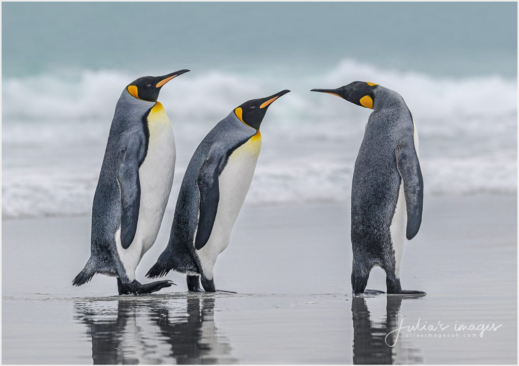 King Penguin Conversation