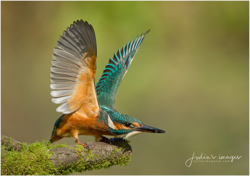 Kingfisher Take off